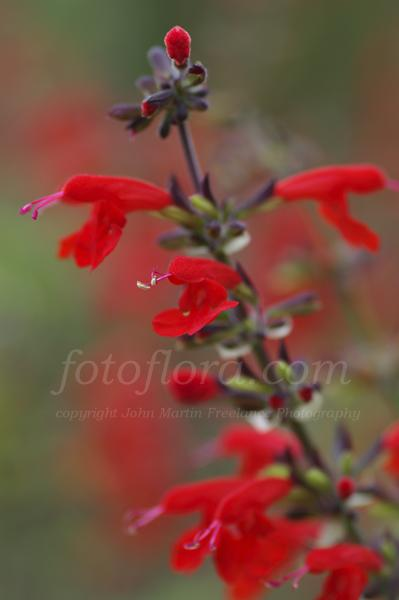 Anna Sage Lady In Red http://www.fotoflora.com/pages/search-fotoflora-garden-picture-library/perennials.php?gall_id=36&page_no=55