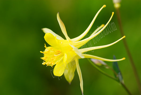 Aquilegia chrysantha yellow queen dp7461