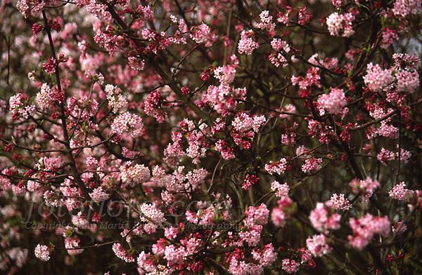 Garden decor crafts pinterest - Viburnum X Bodnantense Dawn Planted In Driveway Garden