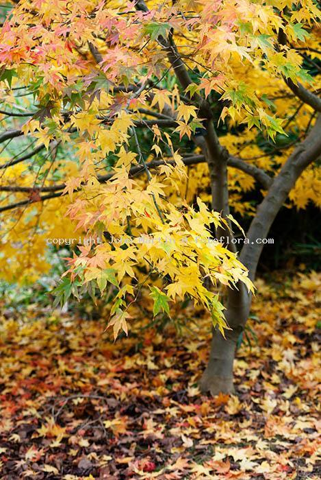 Acer palmatum shigurezome dp9342