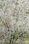 Prunus simonii dp9960