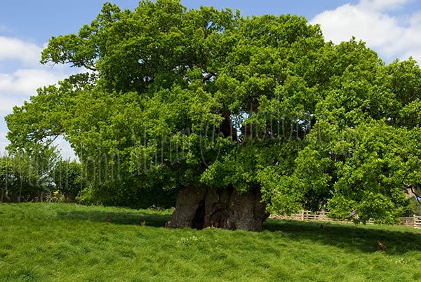 Hillersdon House Devon. Quercus+robur+pendula