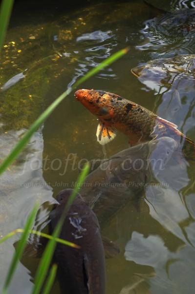 Water gardening fotoflora garden flowers photo library for Wild koi fish